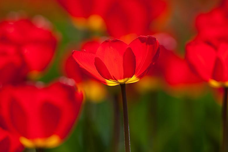 tulpen05