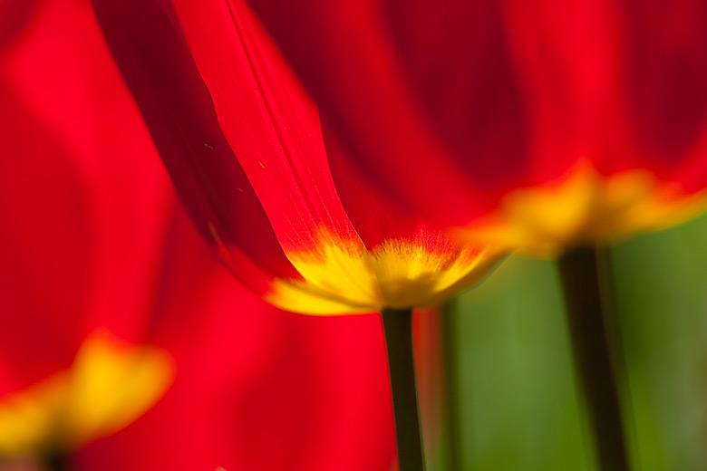tulpen09