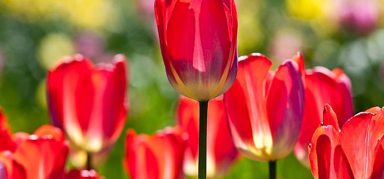tulpen16