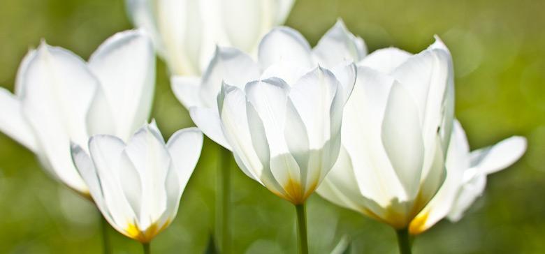 tulpen17