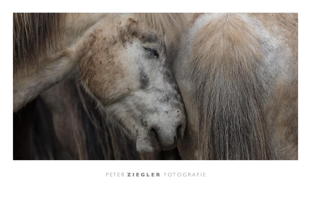 Island-Pferde.jpg