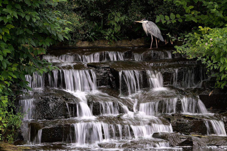 Graureiher am Wasserfall